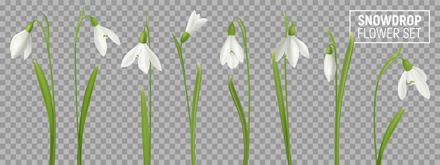 Realistic snowdrop flower set on transparent background with isolated realistic images of natural flowerage with stems  illustration
