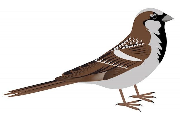 Realistic sparrow on white