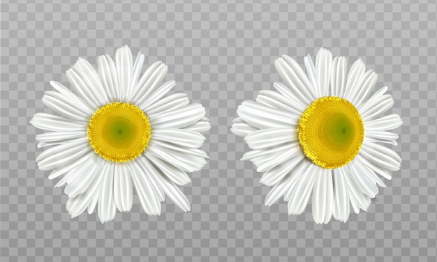 Realistic spring chamomile, daisy flowers