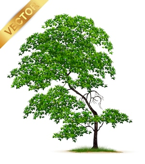 Realistic  tree  isolated on white background