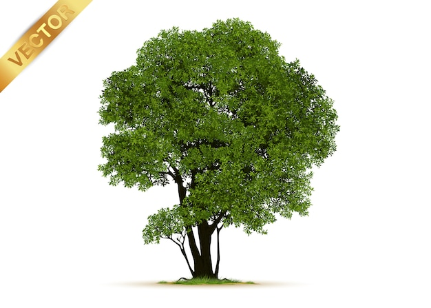 Realistic tree isolated
