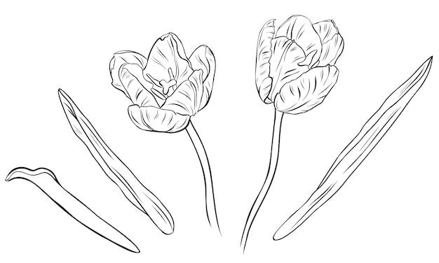 Реалистичные тюльпаны в наборе. рисованной векторные иллюстрации. монохромный черно-белый рисунок тушью. штриховая графика. изолированные на белом фоне. раскраска.