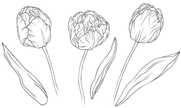 Реалистичные тюльпаны в наборе. рисованной векторные иллюстрации. монохромный черно-белый рисунок тушью.