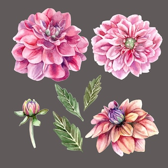 Realistic watercolor set of dahlia flowers and buds