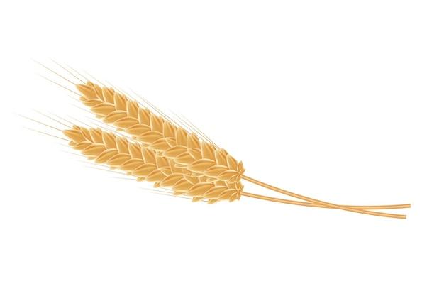 Реалистичные колосья пшеницы на белом фоне.