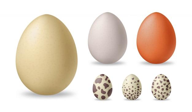 현실적인 흰색과 갈색 닭고기 달걀. 타조와 메추라기 계란. 삽화