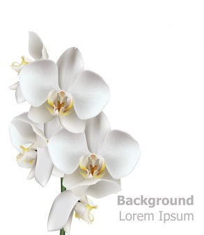 Realistic white orchid flowers