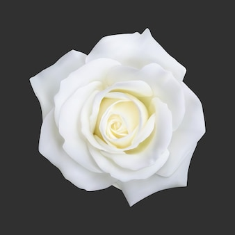 Realistic white rose
