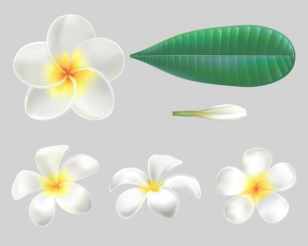 Realistic white-yellow plumeria flowers with green leaves  on grey background.