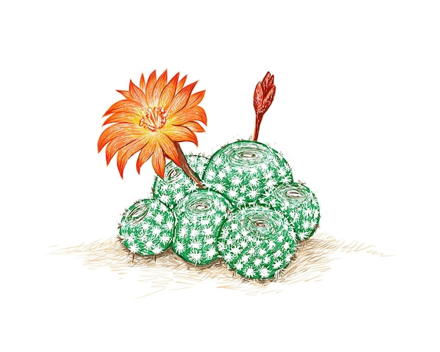 Rebutia cactus with orange flower a succulent plants with sharp thorns for garden decoration