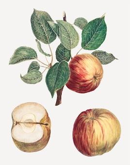 アンリ=ルイ・デュアメル・デュ・モンソーのアートワークからリミックスされた、葉のアートプリントが付いた赤いリンゴのベクトル