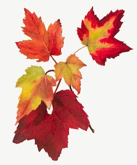 Red autumn leaves botanical illustration watercolor, remixed from the artworks by mary vaux walcott