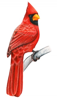 Red cardinal hand drawn bird watercolor colored pencils