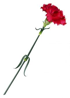 Красный цветок гвоздика на белом