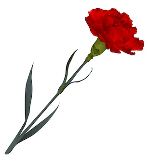 Red carnation flower isolated