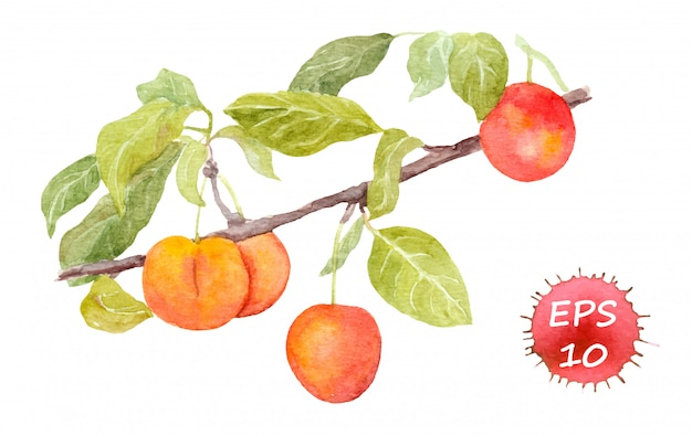Red cherry plum fruit. watercolour vector illustration