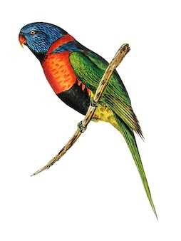 Red-collared lorikeet illustration