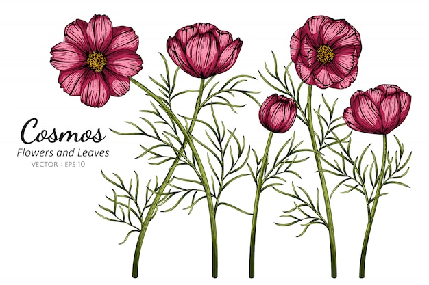 Red cosmos flower and leaf drawing illustration with line art on white backgrounds.