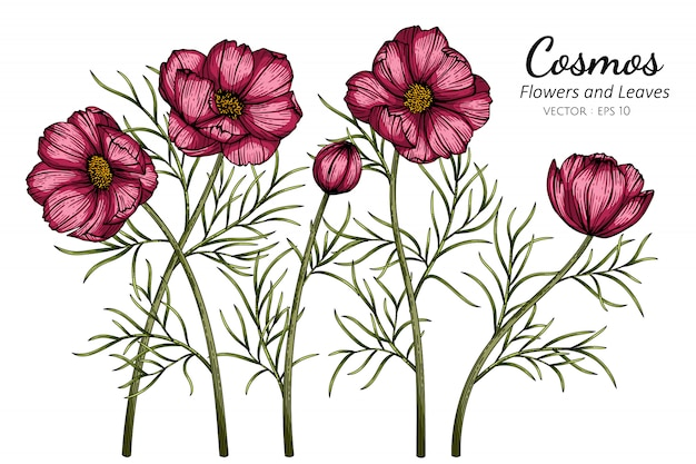 Red cosmos flower and leaf drawing illustration