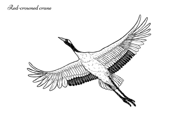 Red-crowned crane vector flying by hand drawing