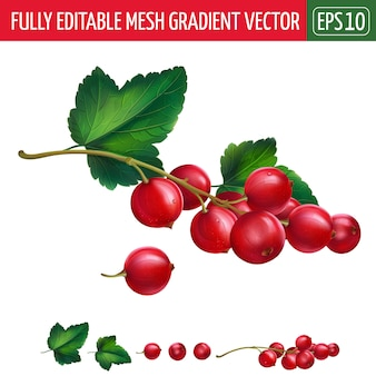 Red currant illustration on white