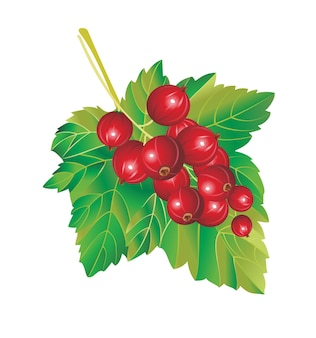 Red currant with leaves isolated on white