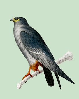 Red-footed falcon (falco rufipes) illustrated by charles dessalines d'orbigny (1806-1876).