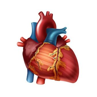 Красное здоровое человеческое сердце с артериями крупным планом, вид спереди, изолированные на белом фоне