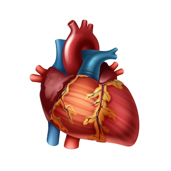 Red healthy human heart with arteries close up front view isolated on white background