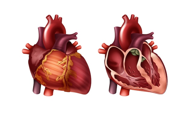 Красное здоровое целое и наполовину человеческое сердце с артериями крупным планом, вид спереди