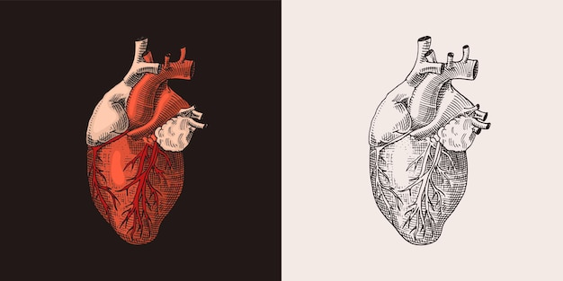 Red heart organ human biology anatomy illustration engraved hand drawn in old sketch and vintage