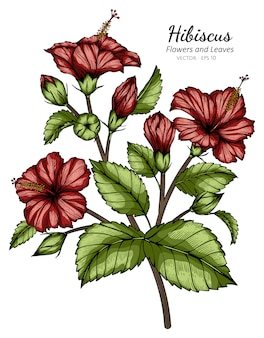 Red hibiscus flower and leaf drawing illustration with line art on white backgrounds.