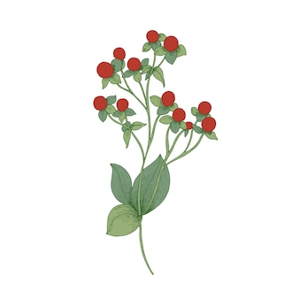 Red hypericum with fruit and green leaves isolated on white