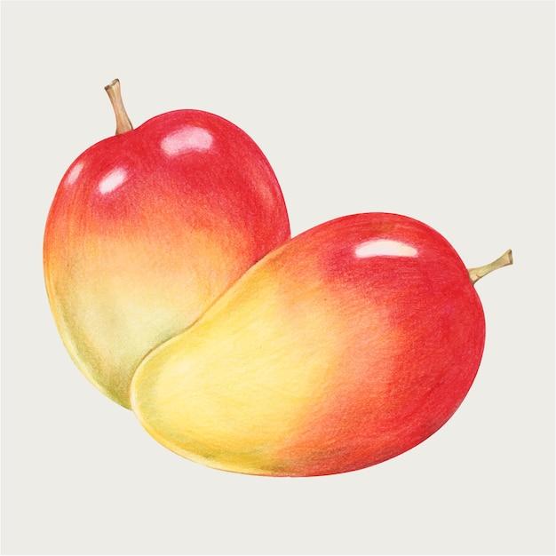 Red mango vector hand-drawn in color-pencil