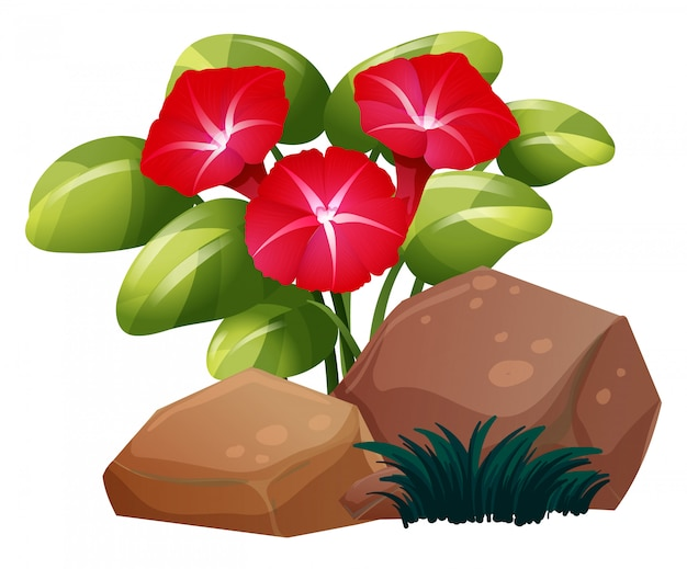 Red morning glory flowers