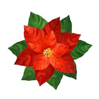 Красный цветок пуансеттия реалистичные иллюстрации. новогоднее украшение и декоративное растение. красная пуансеттия с зелеными листьями. рождественский цветок. открытка, элемент цветочного дизайна плаката. изолированный вектор