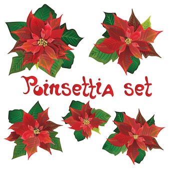 Red poinsettia vector flowers set