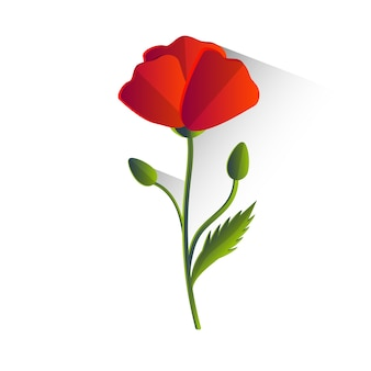 赤いポピーの花の孤立
