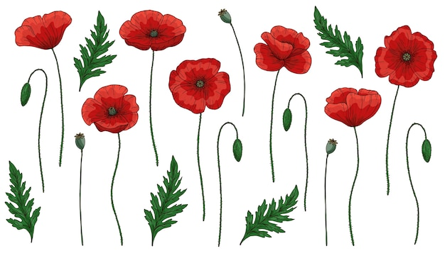 Red poppy flowers. papaver. green stems and leaves. big set of elements