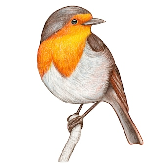Red robin hand drawn watercolor pencil bird