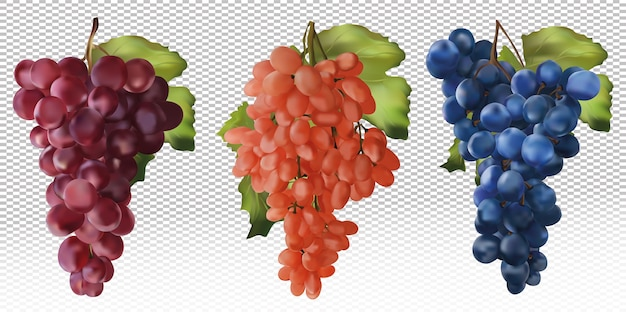 Red, rose and blue grapes. wine grapes, table grapes. realistic fruit. concept food. vector illustration