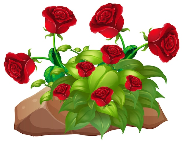 白い背景の上の赤いバラと岩