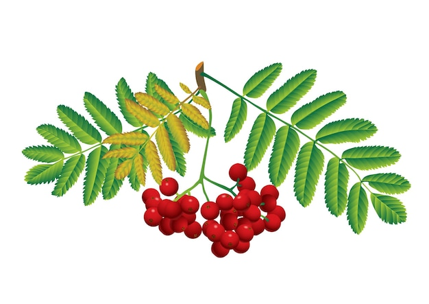 Red rowan with leaves isolated on white
