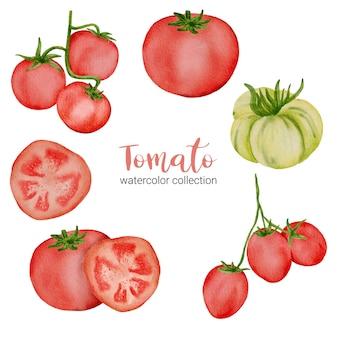 Pomodoro rosso nella raccolta dell'acquerello con pieno, affettare e tagliare a metà