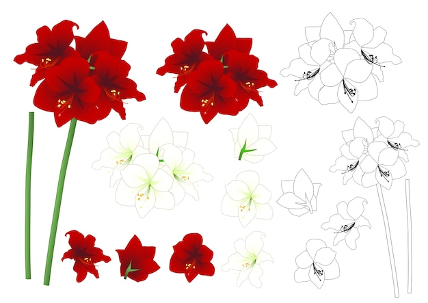 Red and white amaryllis outline