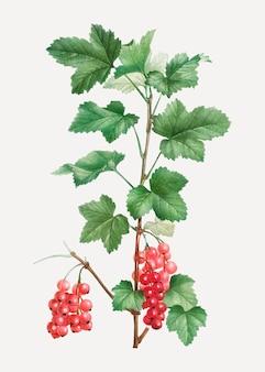 Redcurrant fruit plant