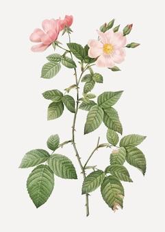 Redleaf rose in bloom