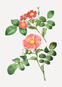 Redleaf rose and japanese rose