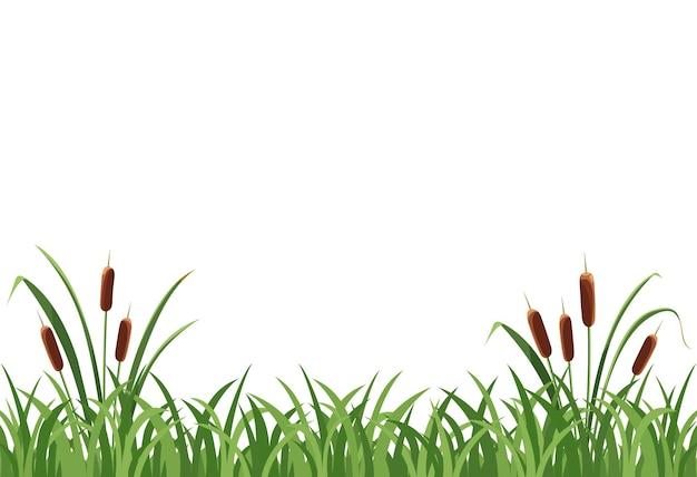 葦のメイス、白い背景の草の葦。