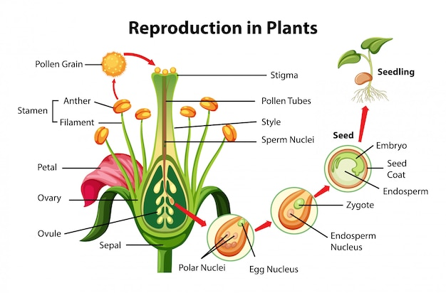 Reproduction in plants diagram